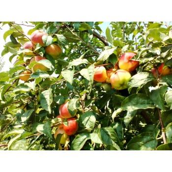 Dulceata din mere ecologice dulce-acrisoara/b 380gr.