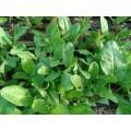 Suc verde concentrat si congelat din mangold si macris bio/st. de 500 ml.