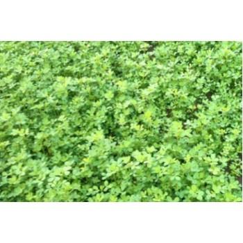 Frunze de lucerna ecologica/leg